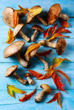 Forest picking mushrooms and fall leaves on blue wooden backgrou Stock Photography