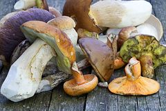 Forest picking mushrooms Royalty Free Stock Image