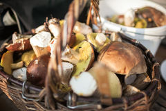 Forest picking mushrooms in wickered basket. Fresh raw on the table. porcini or White mushroom Royalty Free Stock Photos