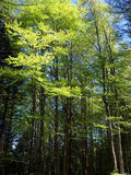 Forest. A picture of Beeches forest with young plants in Spring Royalty Free Stock Photo