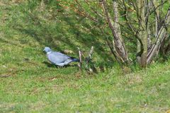 Forest pigeon on a grass. stock photo
