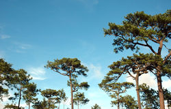 Forest pine. Pine forest is beautiful at Phukraduang National Park in Thailand Royalty Free Stock Images