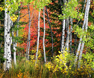 Forest of Pine, Aspen and Pine Trees in Fall Royalty Free Stock Photography