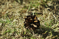 Forest pine cone. Royalty Free Stock Photo