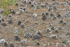 Forest pine cones in natural surroundings Royalty Free Stock Images
