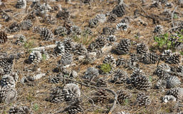Forest pine cones in natural surroundings, focus on foreground Royalty Free Stock Photography