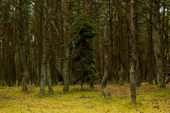 Forest pine dark Royalty Free Stock Photography