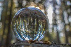 Forest of Pine and Giant Redwood Sequoia Trees Captured in Glass. Large grove of Giant Redwood Sequoia trees captured in glass ball reflection close up stock photos