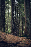 Forest of pine in the mountains. Dark Forest of pine in the mountains Royalty Free Stock Photos