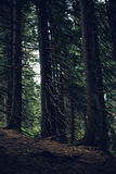 Forest of pine in the mountains. Dark tone Royalty Free Stock Photo