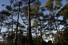 Forest pine Stock Images