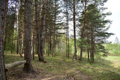 Forest, pine forest, this is a real place, a place of power, a territory where you can relax, be alone with yourself. Restore the nervous system, meditate stock photos