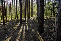 Forest pine shadows cross the path Royalty Free Stock Images