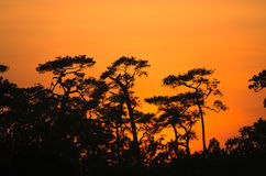 Forest Pine silhouette and Sunset at Phu Kradueng National Park Royalty Free Stock Images