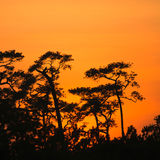 Forest Pine silhouette and Sunset at Phu Kradueng National Park Royalty Free Stock Photos