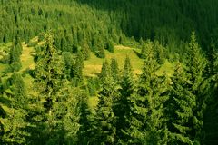 Forest of pine tree Royalty Free Stock Images