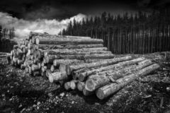Forest pine tree logs royalty free stock photography