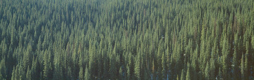 Forest of Pine Trees Stock Photography