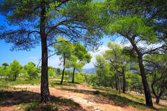 Forest of pine trees Royalty Free Stock Images