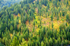 Forest of Pine Trees in Autumn Stock Image