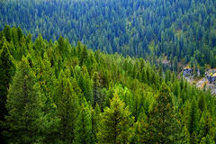 Forest of Pine Trees in Autumn Royalty Free Stock Photography