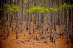 A forest of pine trees stock image