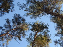 Forest. Pine trees in the forest, good weather Royalty Free Stock Photos