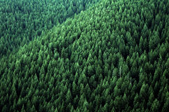 Forest of Pine Trees. Forest of green pine trees on mountainside with late afternoon sunlight Stock Photo