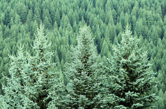 Forest of Pine Trees. Forest of green pine trees on mountainside with late afternoon sunlight Royalty Free Stock Photos