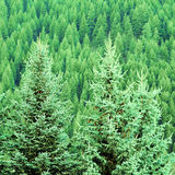 Forest of Pine Trees Royalty Free Stock Photos