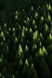 Forest of Pine Trees Stock Photos