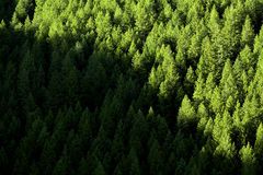 Forest of Pine Trees Royalty Free Stock Photography