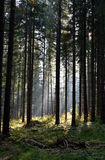 Forest of pine trees illuminated by sunbeams Stock Photo