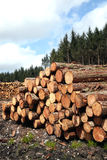 Forest pine trees log trunks. Felled by the logging timber industry Stock Images
