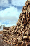 Forest pine trees log trunks. Felled by the logging timber industry Stock Photo