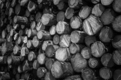 Forest pine tree logs royalty free stock images