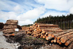 Forest pine trees logs Stock Images