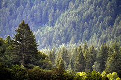 Forest of Pine Trees and Mountains Stock Image