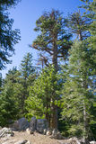 Forest of Pine Trees Stock Images