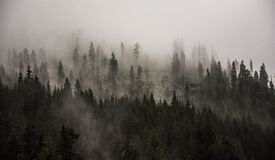 Foggy  pine forest. A forest with pine trees sticking out of the dense fog Royalty Free Stock Photo