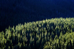 Forest of Pine Trees with Sunlight Stock Photo