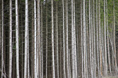 Forest with pine trees for timber or biomass Royalty Free Stock Photos
