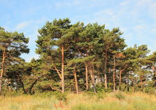 Forest of pine trees and wild leymus weed Stock Photo