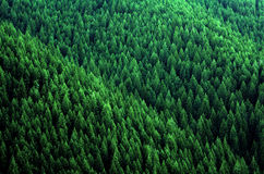 Forest of Pine Trees in Wilderness Mountains Royalty Free Stock Images