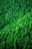 Forest of Pine Trees in Wilderness Mountains Stock Photos