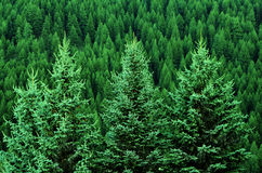 Forest of Pine Trees in Wilderness Mountains Stock Image