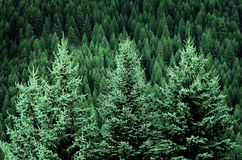 Forest of Pine Trees in Wilderness Mountains Royalty Free Stock Image