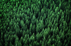 Forest of Pine Trees in Wilderness Mountains Stock Images