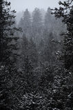 Forest of Pine Trees in Winter Snowy Storm Snow Flakes Falling Stock Image