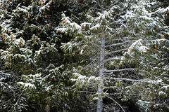 Forest of Pine Trees in Winter Snowy Storm Snow Flakes Falling Stock Images